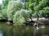 ставок з лебедями