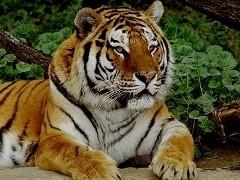 Рік тигра