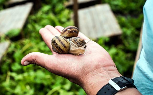 вирощування їстівних равликів
