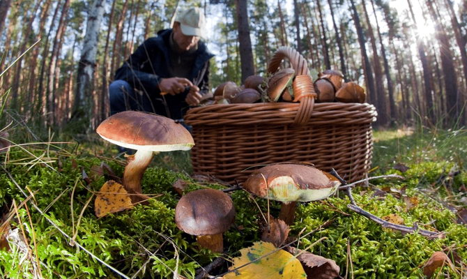 збір грибів у Карпатах